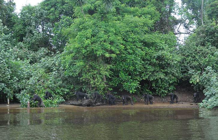 chimpancés río jungla
