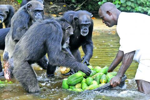 chimpancés monos comida
