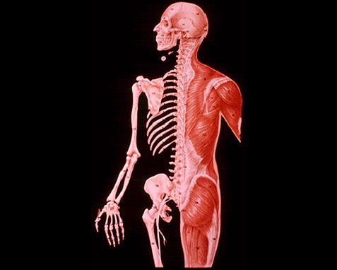 anatomía de un humano adulto