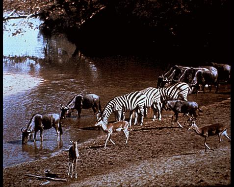 cebras bebiendo agua en una orilla