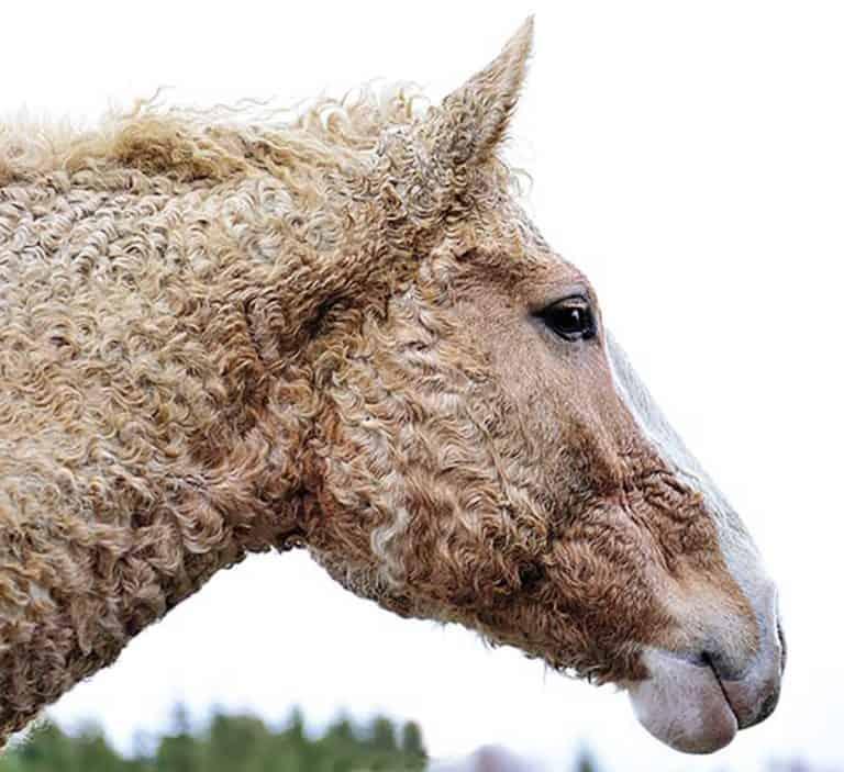 caballo curly
