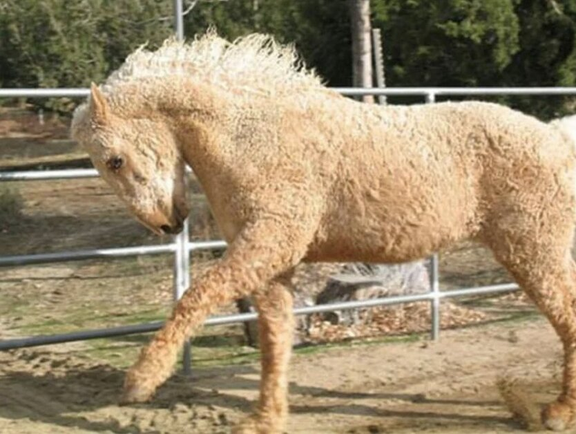 caballo rizado