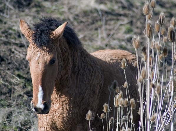 caballo rizado 2