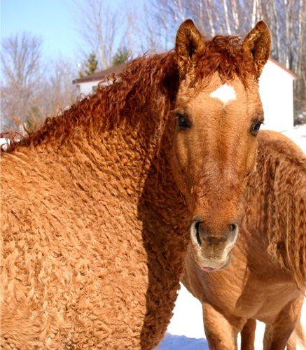 raza curly caballo
