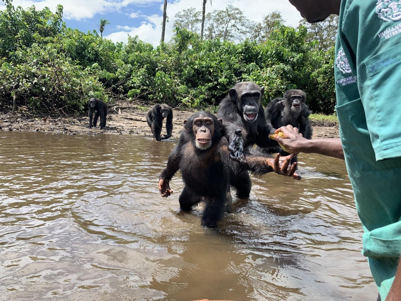 chimpancés agua