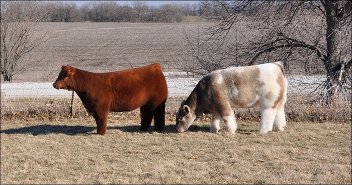 vacas esponjosas