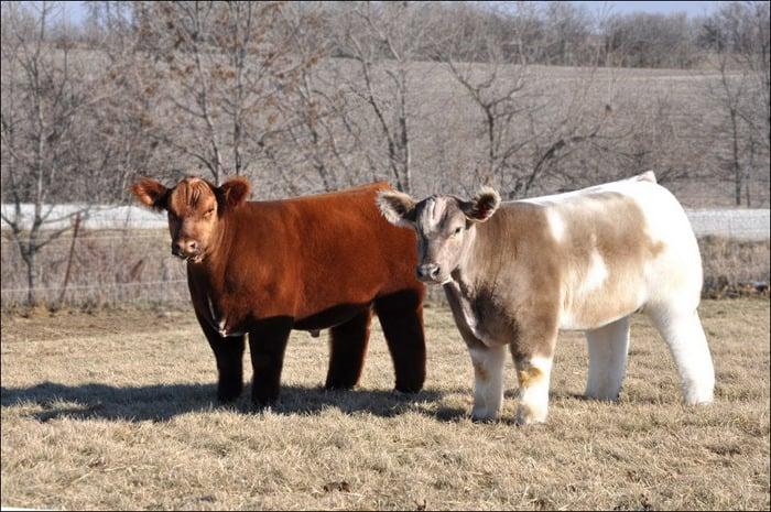 vacas 2