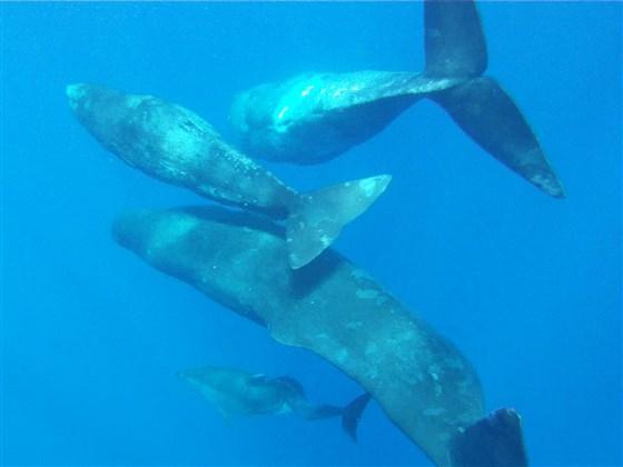 vaina cachalotes ballenas