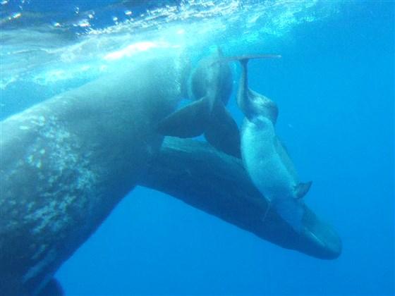 delfín nadando entre cachalotes