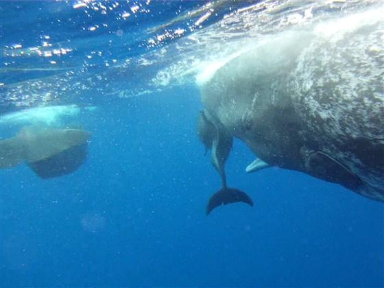 cachalote delfín