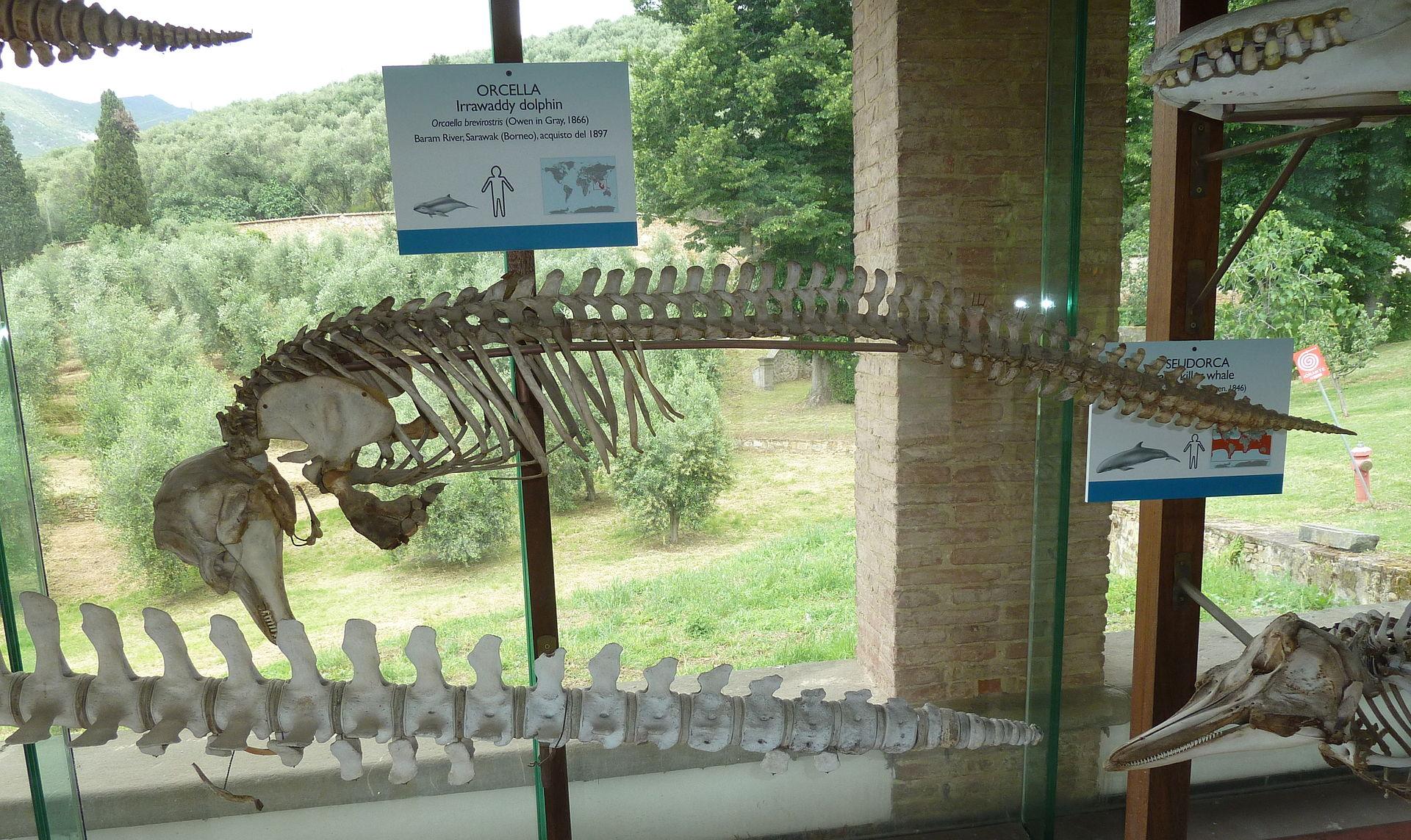 esqueleto delfin museo