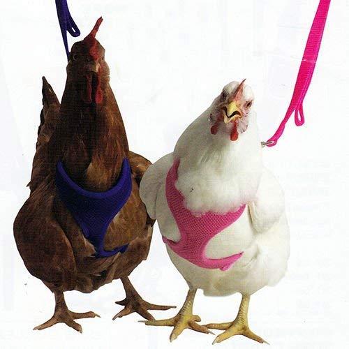 gallinas-con-arnés