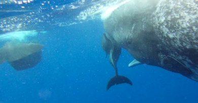 cachalotes-delfin