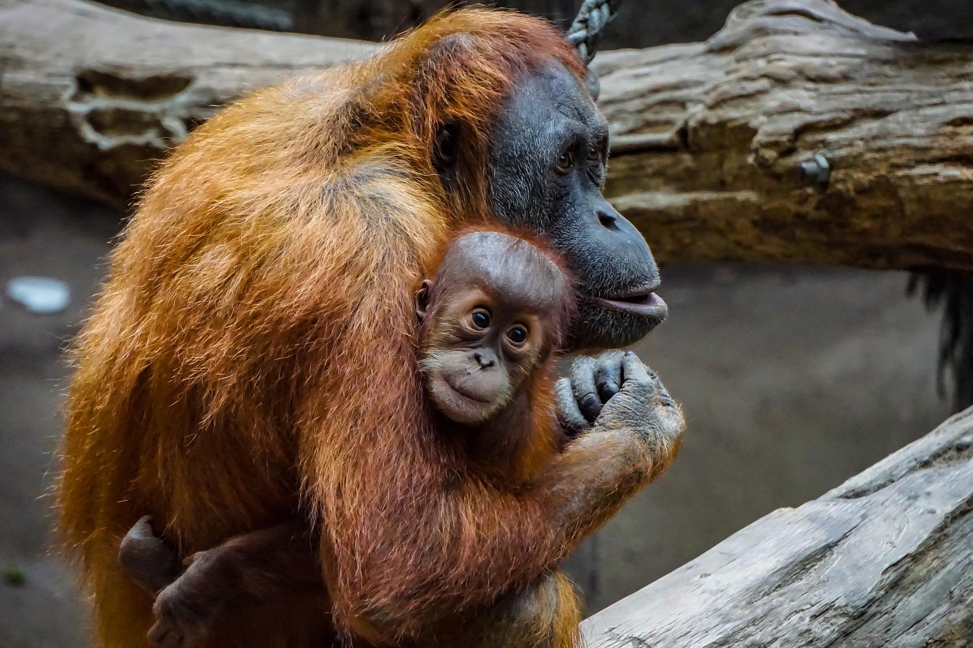 orangutan-bebe