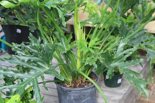 filodendro plantita