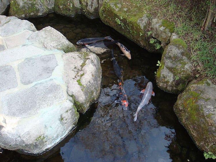 peces koi nadando en agua