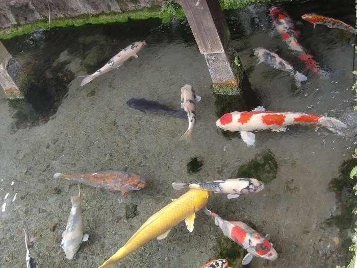 carpas de colores peces koi