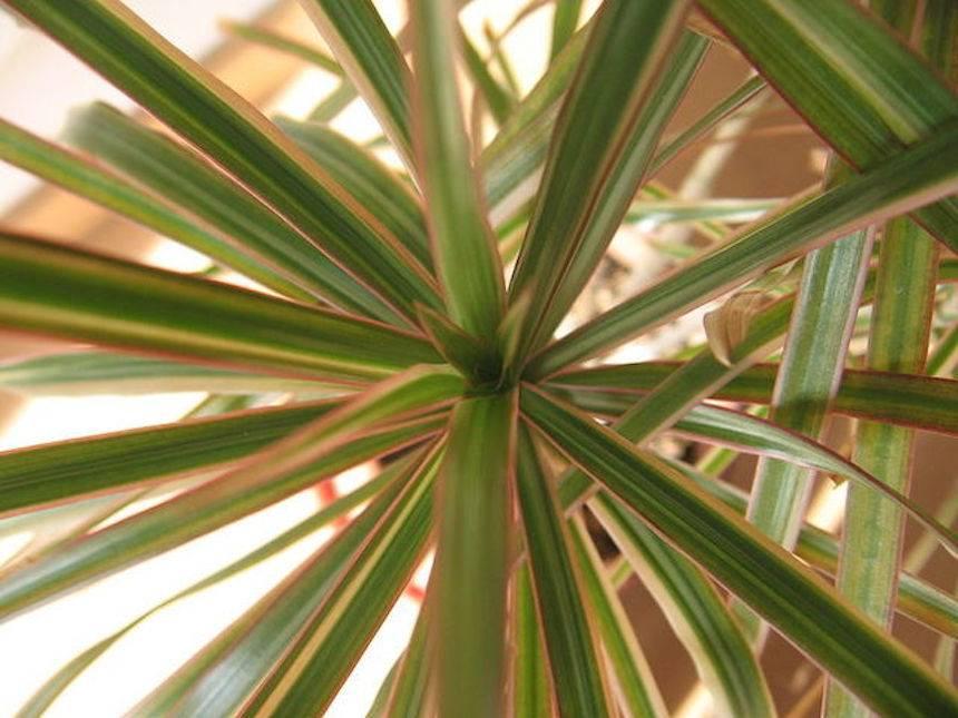 planta de dragón