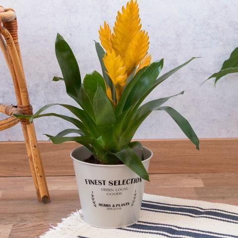 Bromelia amarilla