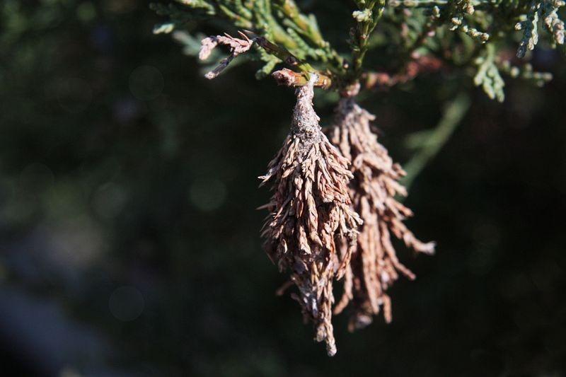 capullo oruga ramas