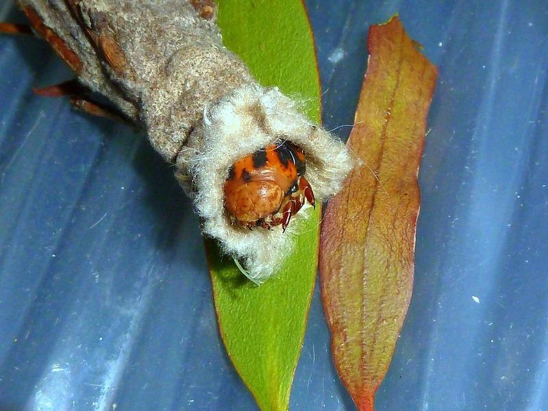 larva saco