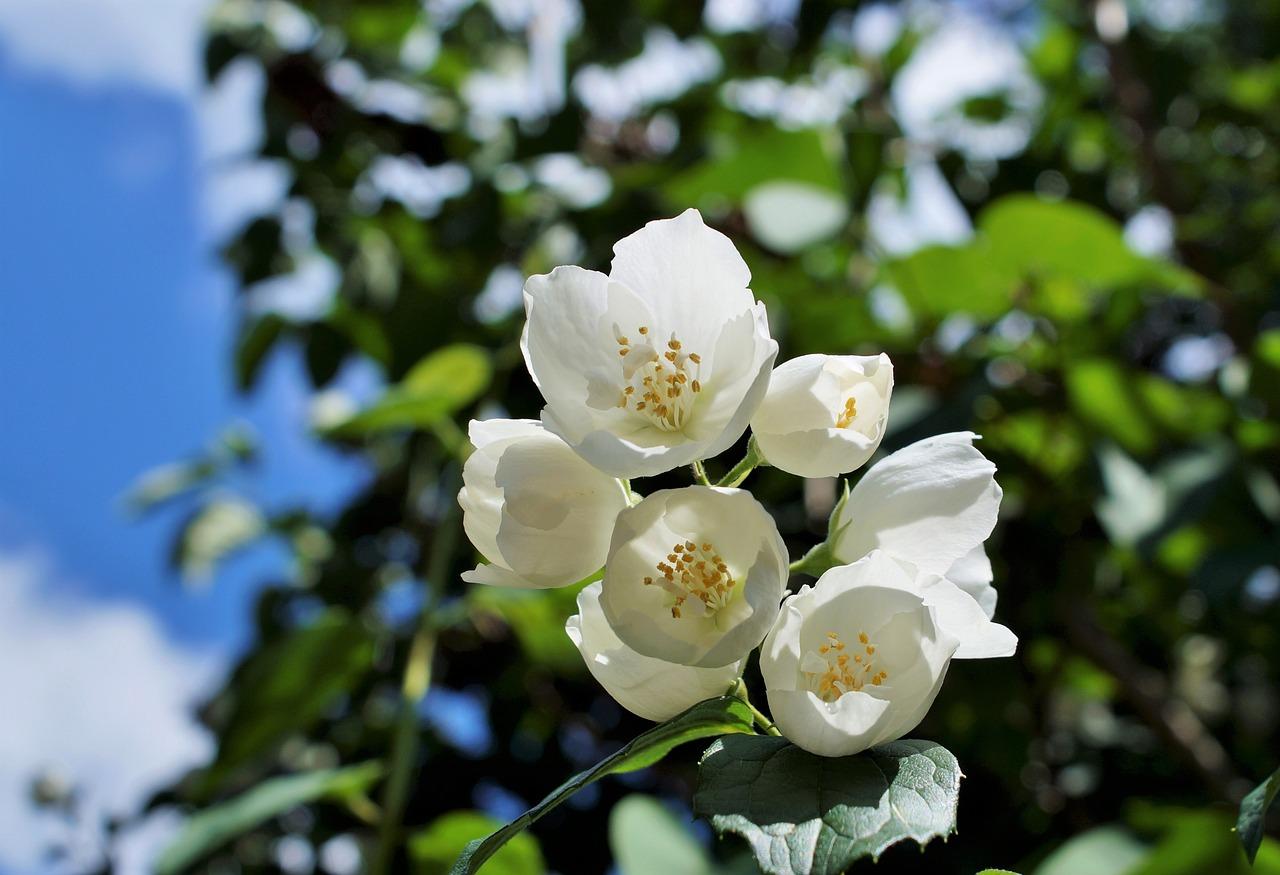 plantas jazmín