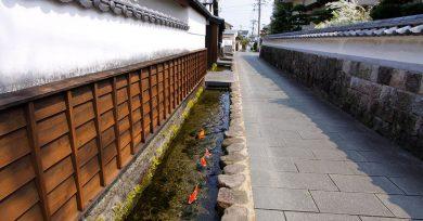 peces-koi-japon
