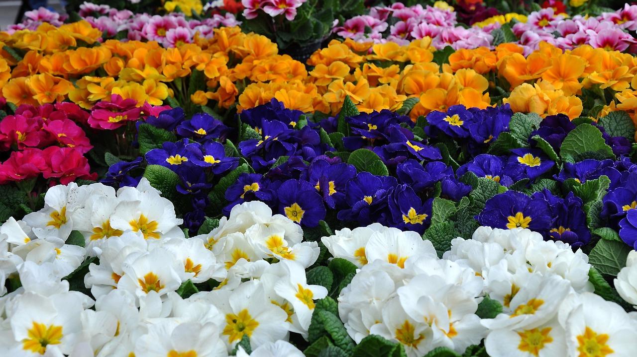 primula flores plantas