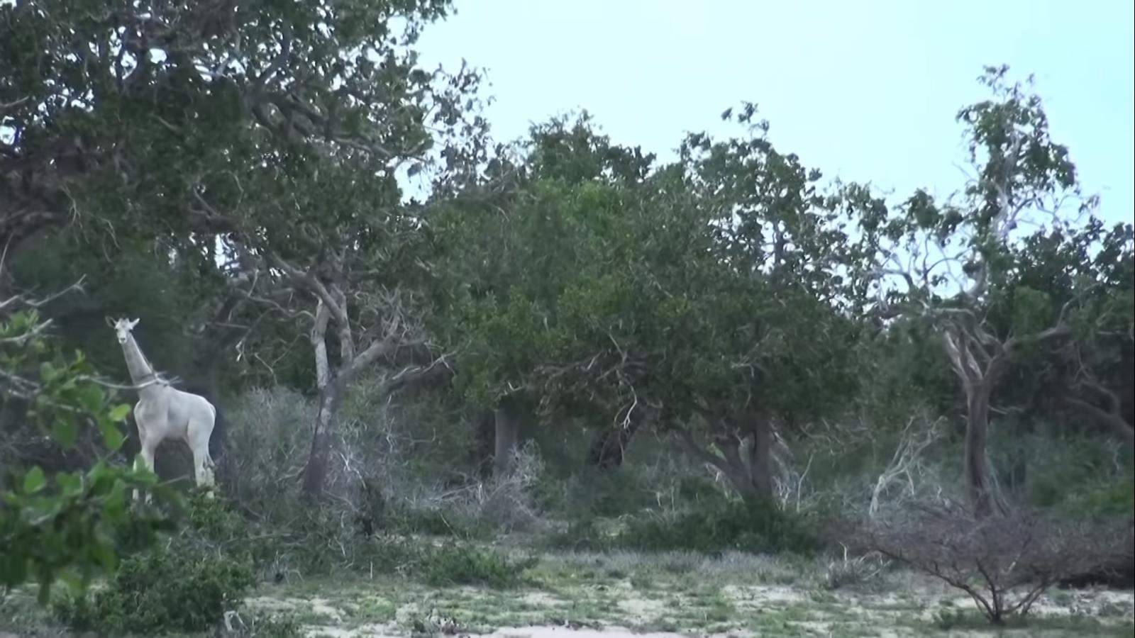 jirafas blancas en peligro de extinción