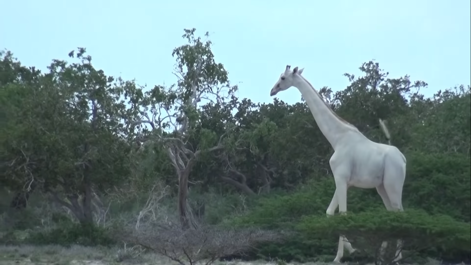 jirafa muere en áfrica