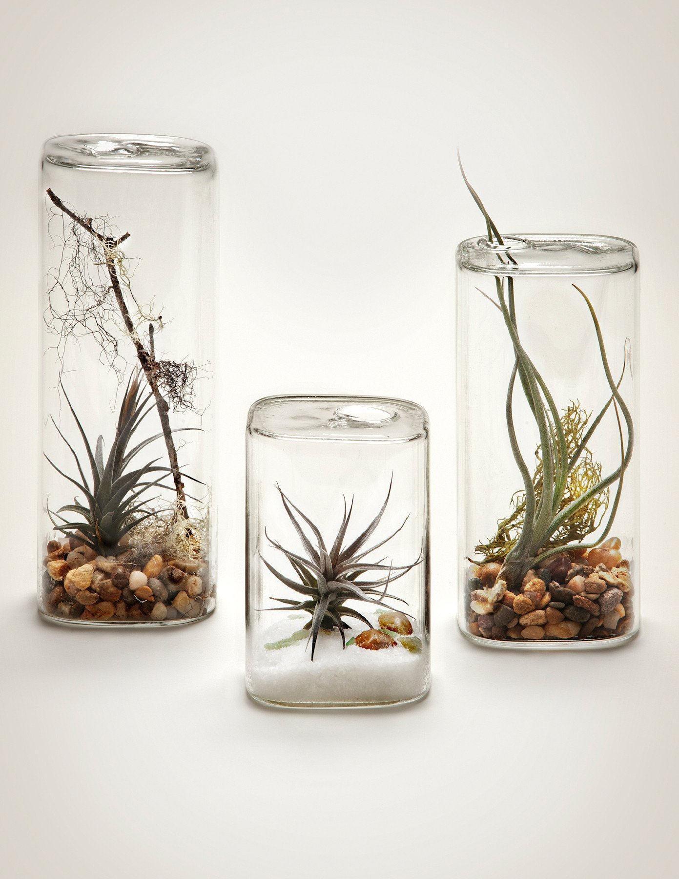 plantas de aire para decoración