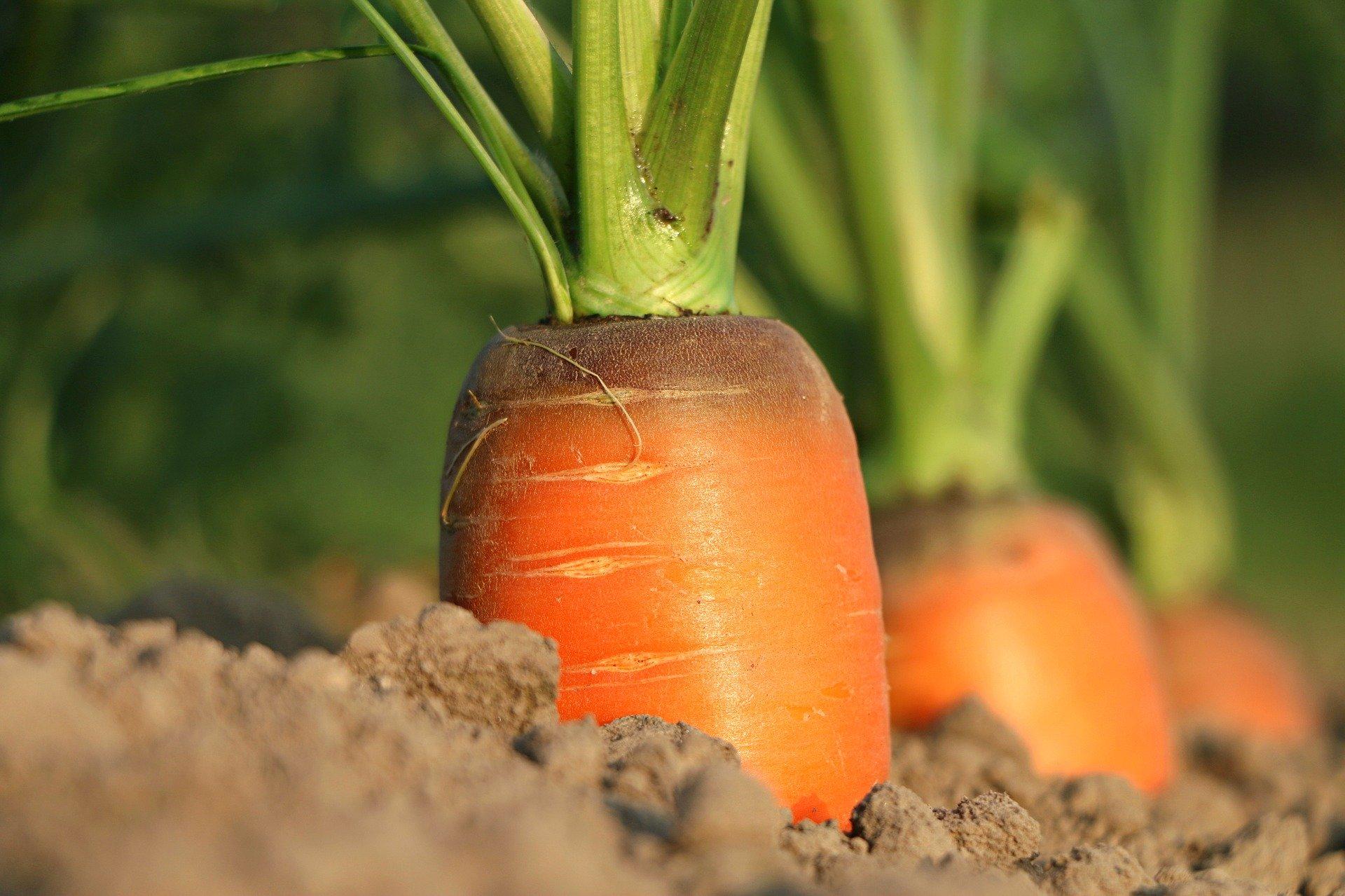 cultivo zanahorias