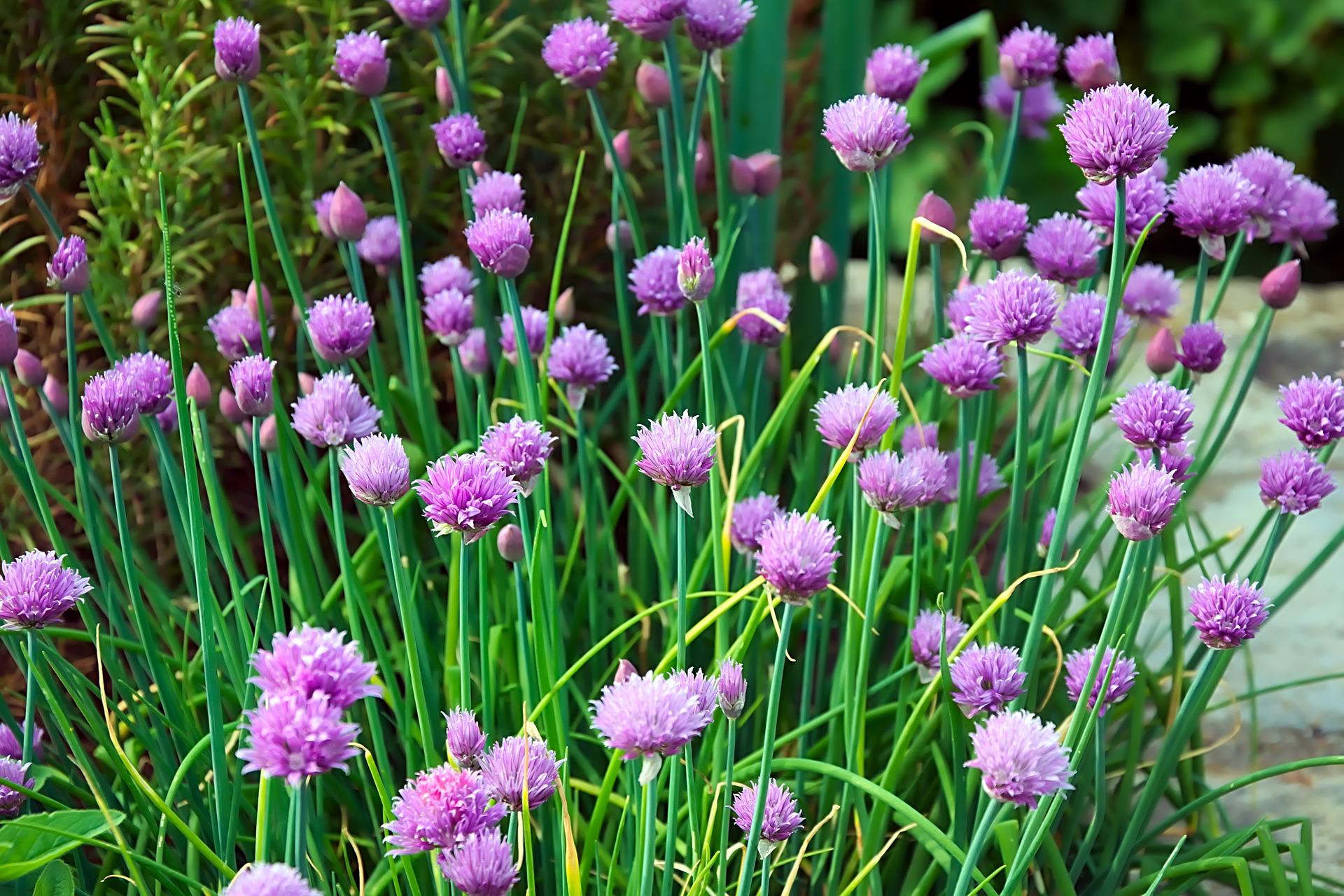 cilantro cultivo