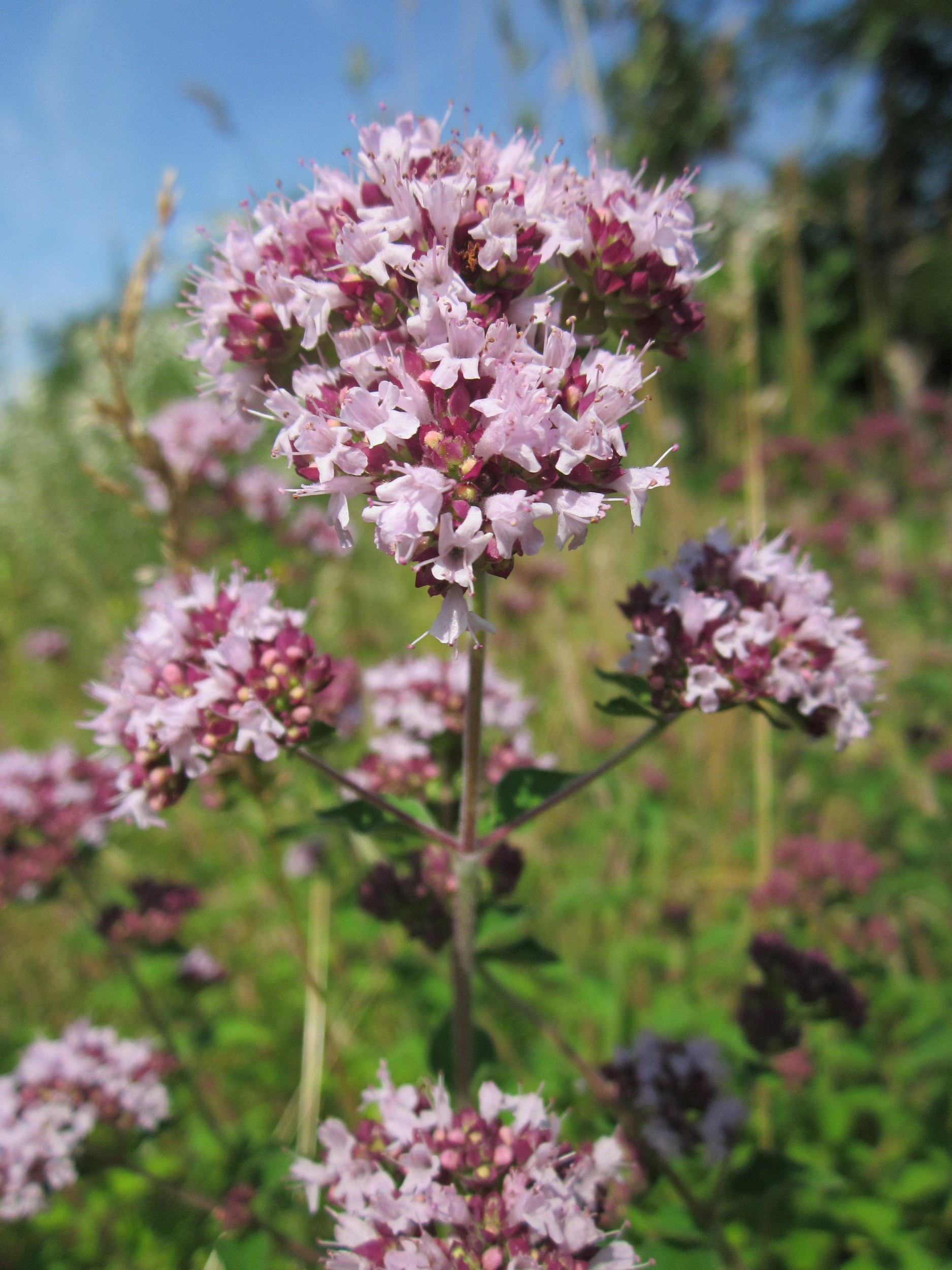 flor de orégano comestible