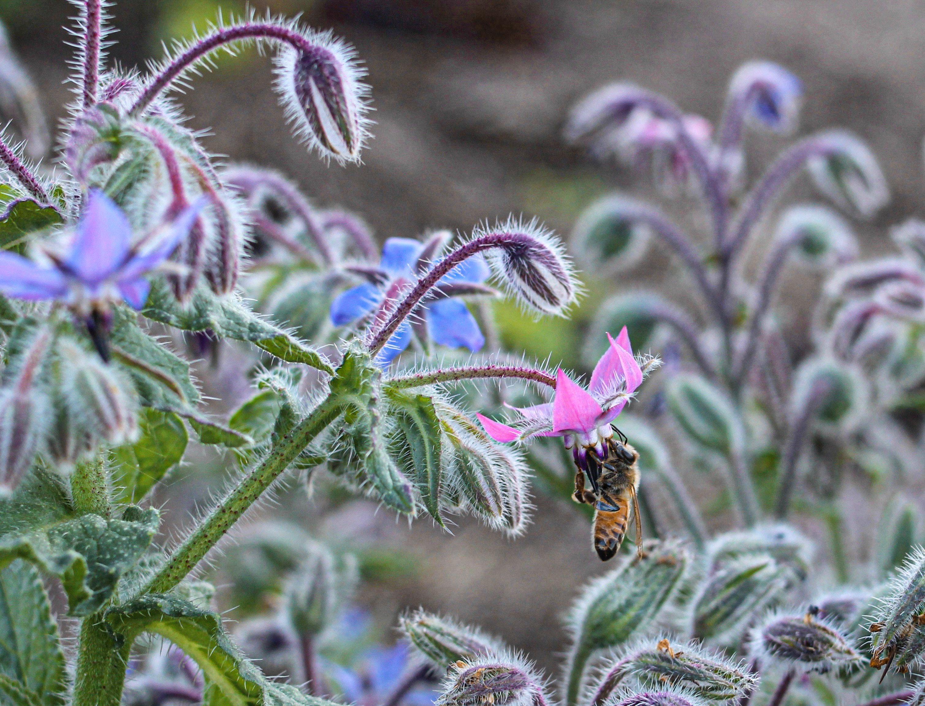 borraja flores comestibles