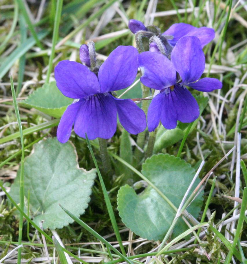 violetas comestibles flores