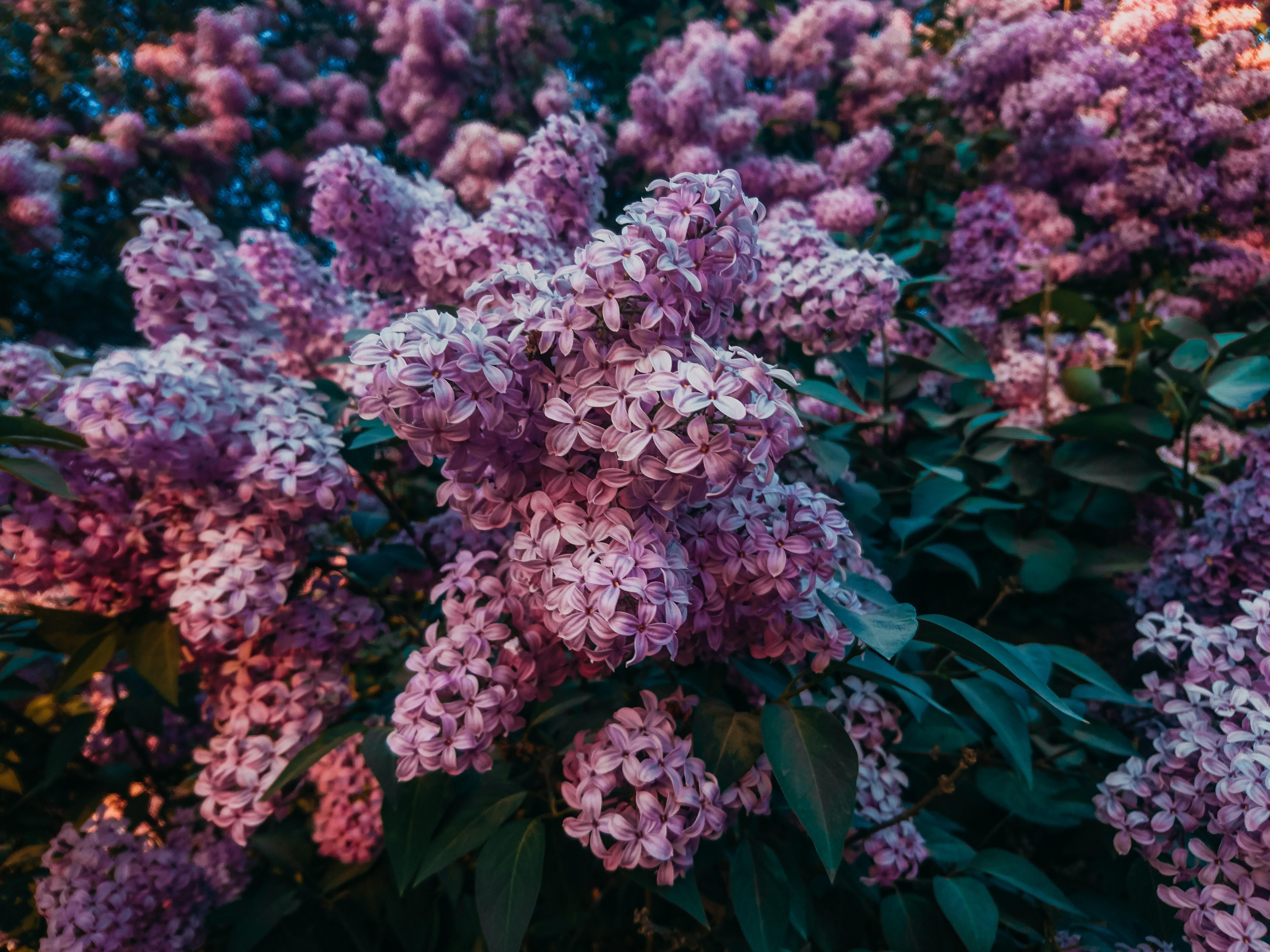 flores de lila para comer