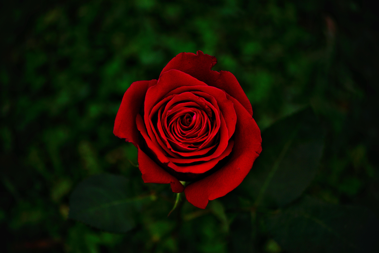 rosa flores comestibles