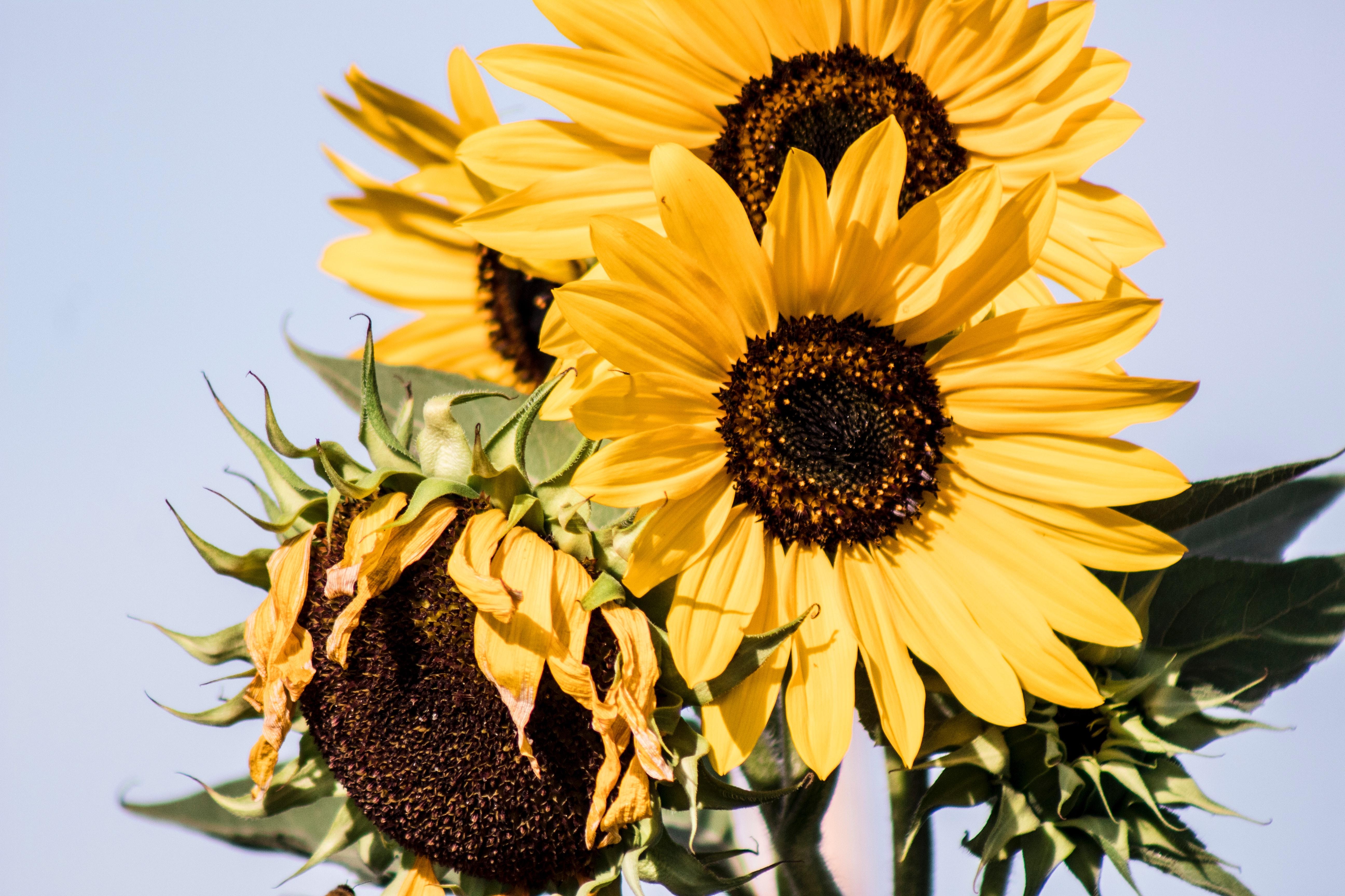 girasol flores comestibles