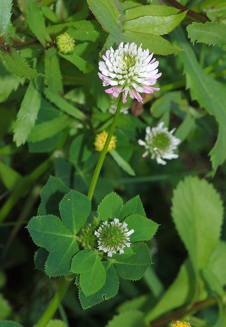flor de trébol