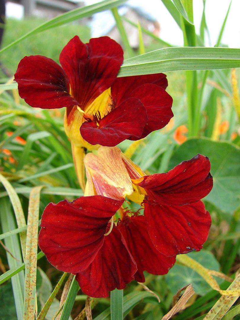 nasturtium flor