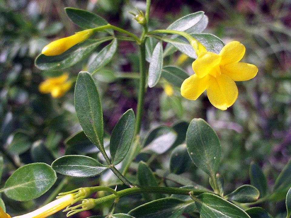 jazmín flor