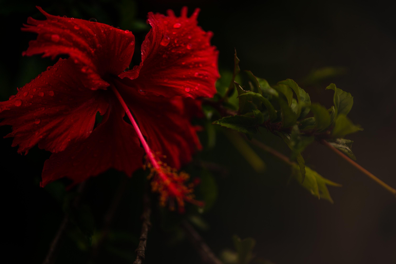 hibisco flores comestibles recetas
