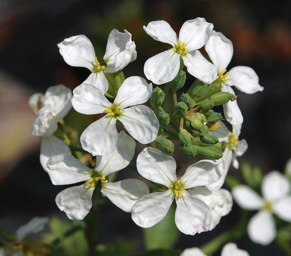 rábano flores comestibles