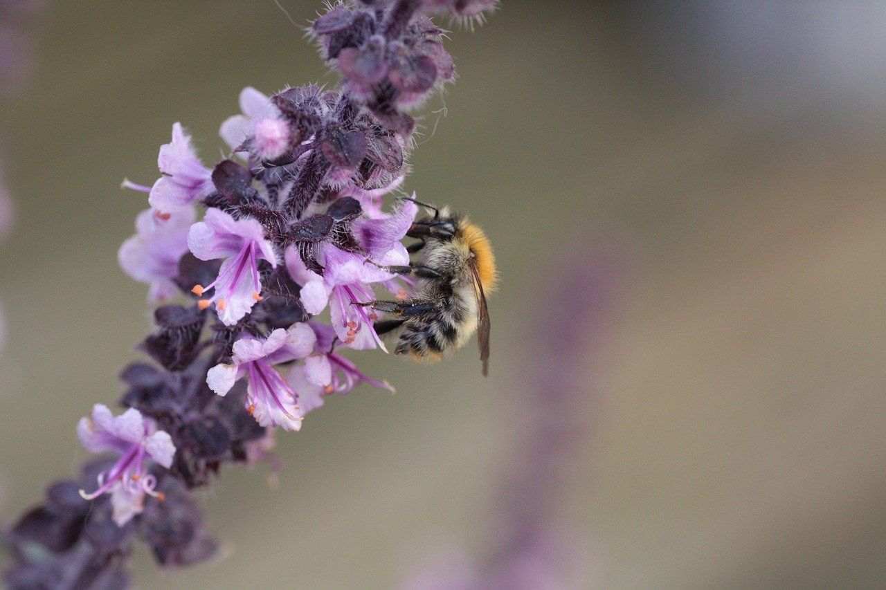 albahaca morada con abeja posada