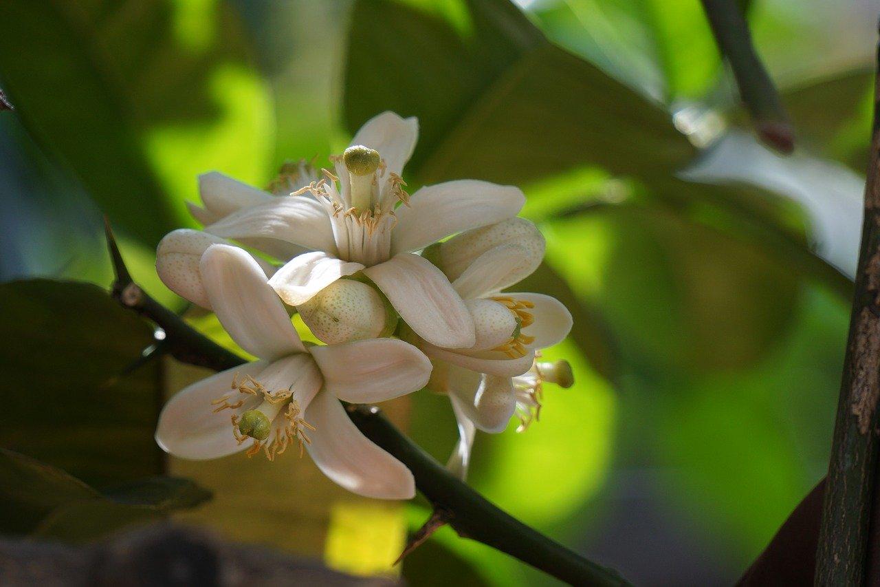 azahar flores de naranjo