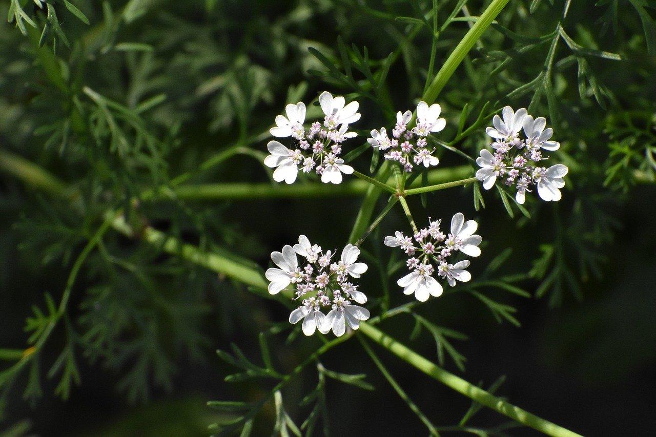 flor de coriandro