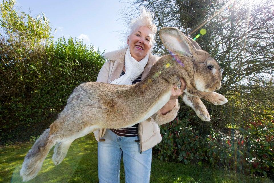 conejo más grande del mundo