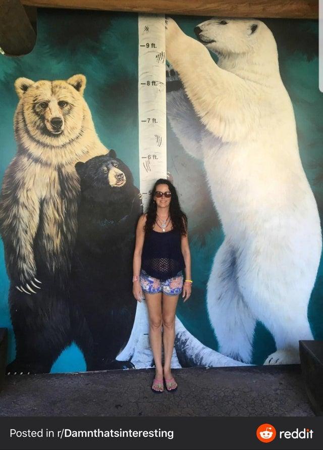 altura oso