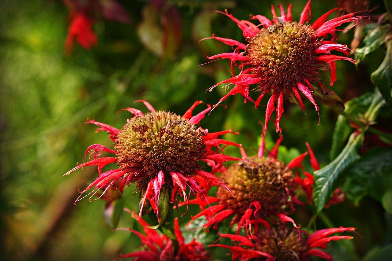 monarda en floración